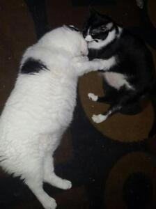 """Adult Male Cat - Domestic Short Hair (White): """"CeeCee & Mimi"""""""