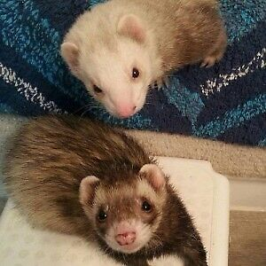 ISO: Pair of Male Ferrets