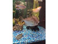 3 SILVER DOLLAR FISH (Fully Grown)