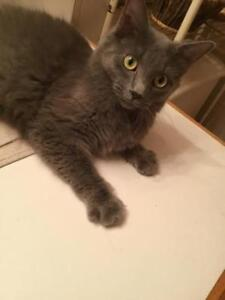 "Adult Female Cat - Domestic Medium Hair (Gray)-Nebelung: ""A.J."""