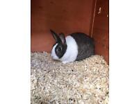 Female Rabbit