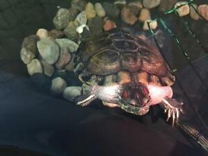 Young Male  - Red-Eared Slider-Turtle