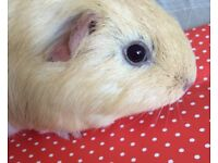 Beautiful boy guinea pig for sale