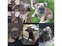 French bulldogs (KC registered )