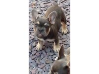 Blue and tan FRENCH bulldog puppies