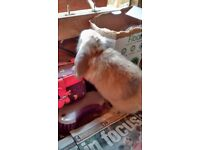Beautiful Baby Mini-lop Bunny
