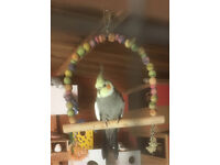 Adult male cockatiel for sale