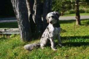 Adorable aussiedoodle puppy F1b