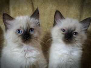 Gorgeous Himalayan Kittens will be at Petland on Saturday