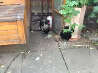 Polish bantam cockerel free to good home