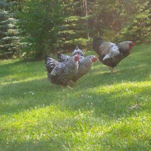 Purebread Silver Laced Wyandotte chicken eggs