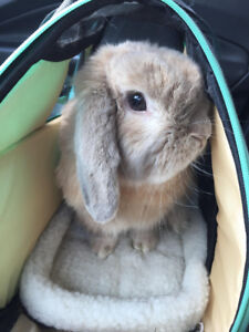 Bunnies for Adoption - 10,000 Carrots Rabbit Rescue - Ted-E