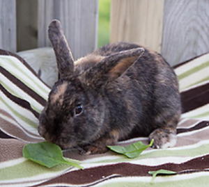 Bunnies for Adoption - 10,000 Carrots Rabbit Rescue -  Acorn