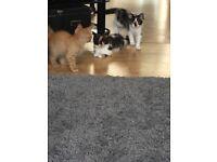 12 week old female kittens -half ragdoll