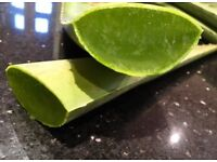 ALOE VERA HOME GROWN PLANTS FOR MEDICINAL REASONS OR KEEP THEM AS HOME PLANTS.