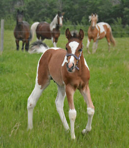 Sweepstakes/Futurity nom colt