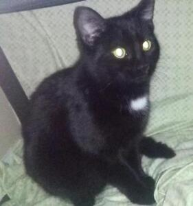 "Young Female Cat - Domestic Short Hair (Black): ""Pixel"""