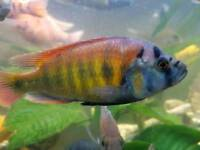 2x sp44 rainbow cichlids