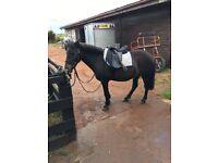 Dartmoor Pony 12.1 hh