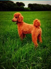 Stunning standard poodle puppies
