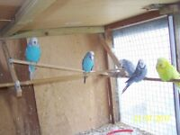 13 Budgerigars for sale