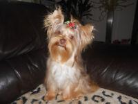 Yorkshire terrier-Chocolate Merle