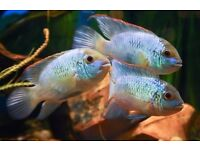 Incredible colours -NEON BLUE Acaras~fantastic opportunity to own magnificent group of 6-SMURFS.BUY.