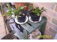 PLANTS : garden plants, pot plants and bulbs
