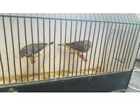 Crested zebra finches