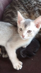CHATONS ABYSSIN SILVER BLEUS