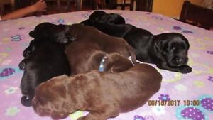 Black lab x springer spaniel mother, yellow lab father,,,Pups
