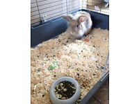 Lion head male rabbit with large indoor cage