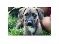 Jack Russell cross with Poodle 5 month old female puppy