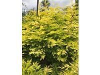 10 X 5-6 Foot Golden Leylandii Conifer