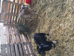 Male and female Pygmy goat pair for sale