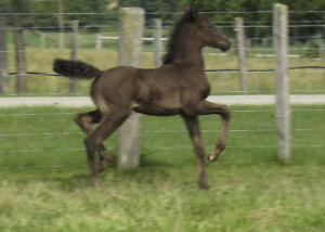 Dutch Harness filly, Dressage or Driving prospect BLACK!!