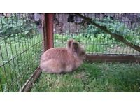 Lion head rabbits and cage