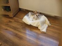 CHIHUAHUA FEMALE 15 WEEKS OLD FULLY VACCINATED KC PEDIIGREE PAPERE