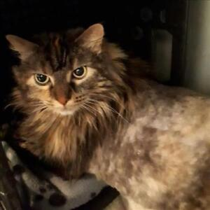 "Adult Female Cat - Maine Coon-Domestic Long Hair: ""Alley Cat"""