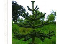 Monkey puzzle Tree. 8 / 9 ft.