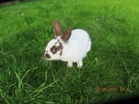 TWO RABBITS FOR SALE MUM AND DAUGHTER LOP CROSS ENGLISH