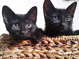❤️ 2 Black male and female 3 months old kittens $70 obo