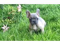 Beautiful little French Bulldog boy