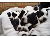 Gorgeous Black and White Springer / Cocker Cross (Sprocker) Puppies For Sale