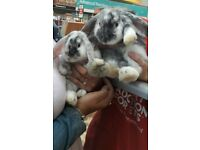 Rabbits. 12 week old bonded female paired bunnies with 2 tier hutch, bowls ect