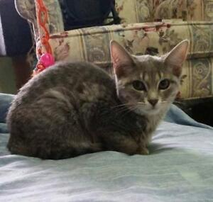 "Baby Female Cat - Domestic Short Hair: ""Skiddles"""