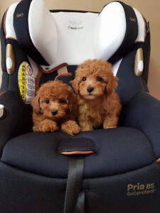 Red Teddybear Toy Poodle Puppies