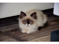 Full Pedigree Ragdoll Kittens GCCF - LAST ONE