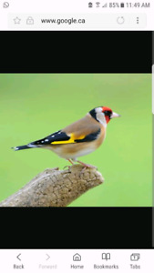 Wanted: European golf finch