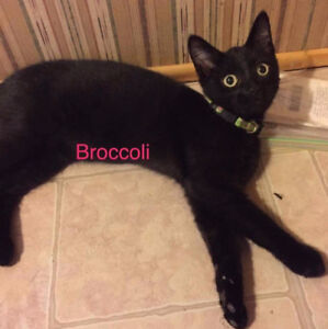 Broccoli, Black Kitten for Adoption with KLAWS